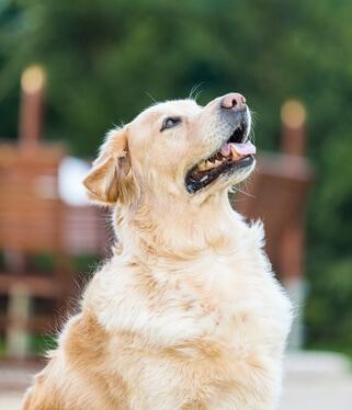 espérance vie chien selon races du chien