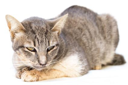 chat malade symptômes