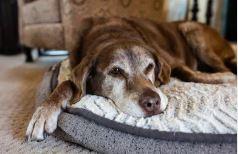 confort vieux chien